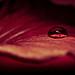 Hibiscus Petal by Jamal Benamer
