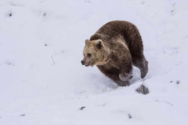 Brown bears first day out after hibernation -SNOWWWWWW!!!