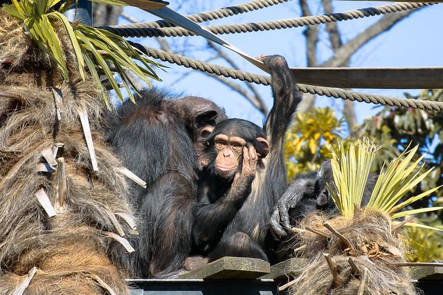 Pan troglodytes チンパンジー