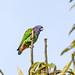 Blue-headed Parrot