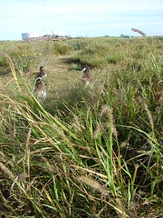starr-080605-6357-Cenchrus_ciliaris-seeding_habit_and_Laysan_albatross-Cargo_pier_Sand_Island-Midway_Atoll