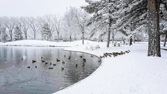 Ducks are not cold
