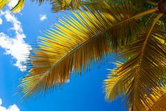Palm Tree, Montego Bay, Jamaica