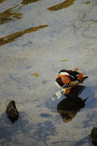 a mandarin duck in Shukugawa