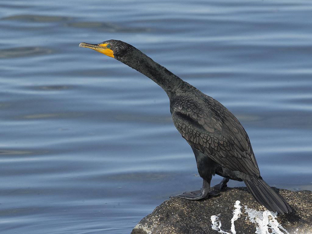 Double-crested Cormorant  Cuba