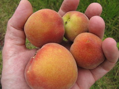 starr-110609-6209-Prunus_persica_var_persica-fruit-Shibuya_Farm_Kula-Maui