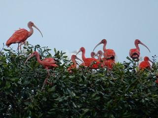 Scarlet Ibis - Los Llanos