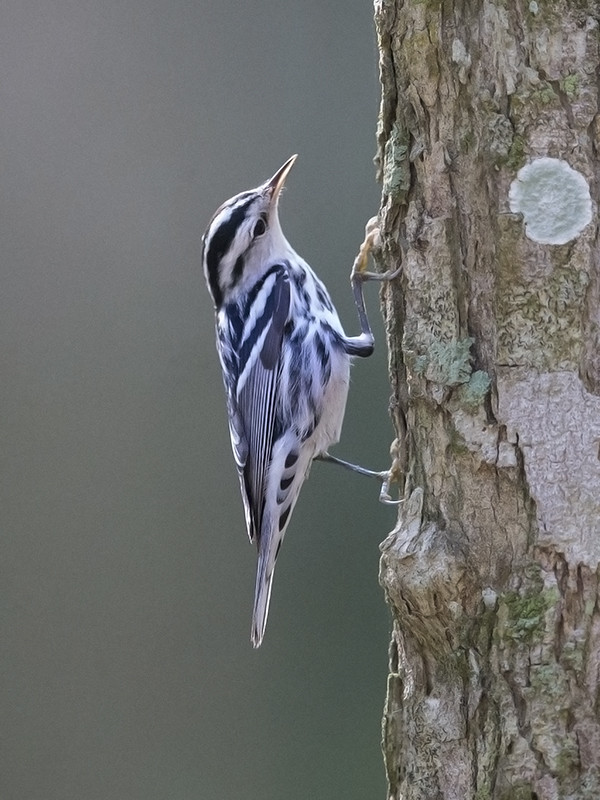 Black and White Warbler      Cuba