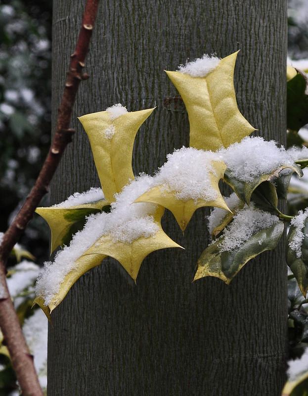 Ilex crenata 'O'Spring' with Firmiana simplex