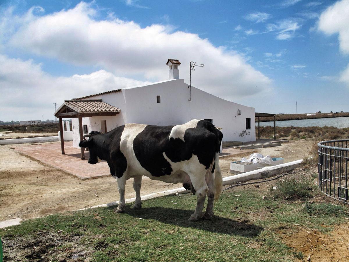 salinas de chiclana_cadiz_visita guiada_casa salinera_vaca campana