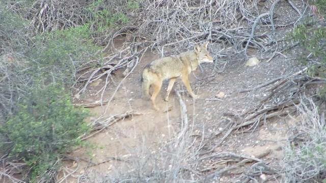 coyote calls her mate