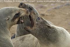 Brown fur seal Arctocephalus pusillus