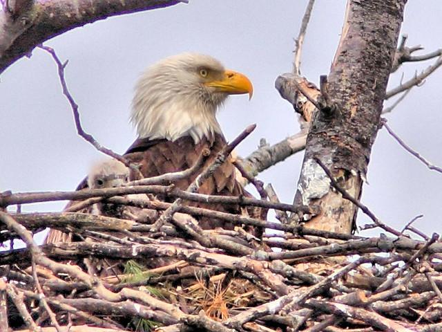 Bald Eagle female and eaglet HDR 20160420