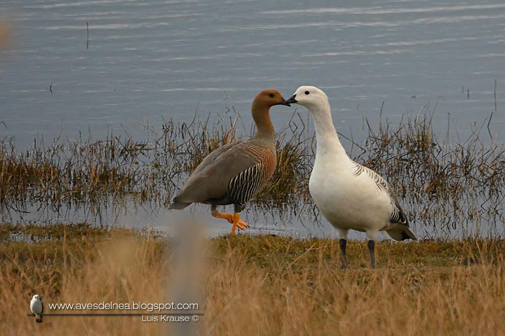 Cauquén común (Upland Goose) Chloephaga picta