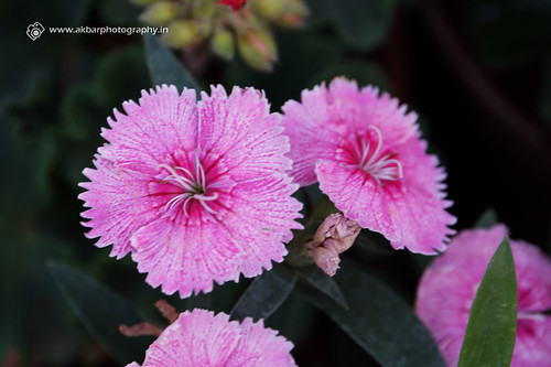 A Saw Flower | by Akbar - Web Designer and Freelance Photographer