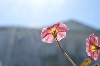 DSC_2436 Oxalis obtusa Jacq. 'High Pink '