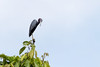 Little Blue Heron | Garcita Azul (Egretta caerulea) by ferjflores