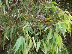 starr-090317-4928-Angophora_costata-leaves_and_capsules-Kahakapao_Reservoir_Haleakala_Ranch-Maui