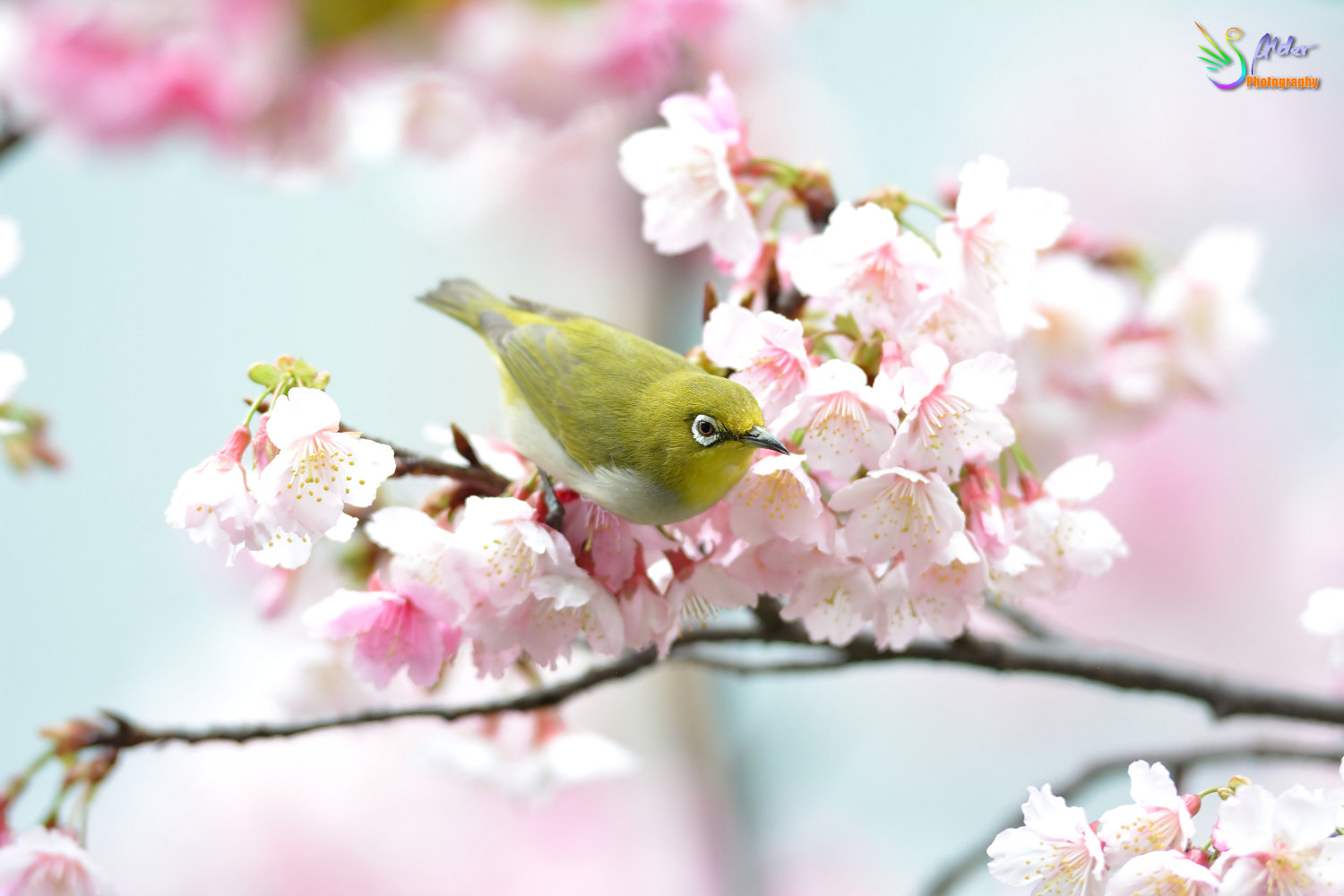 Sakura_White-eye_7224