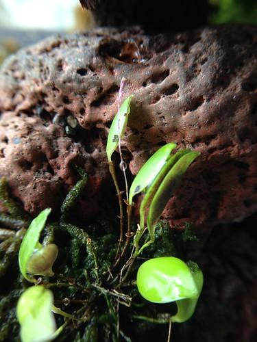 Lepanthopsis astrophora spike