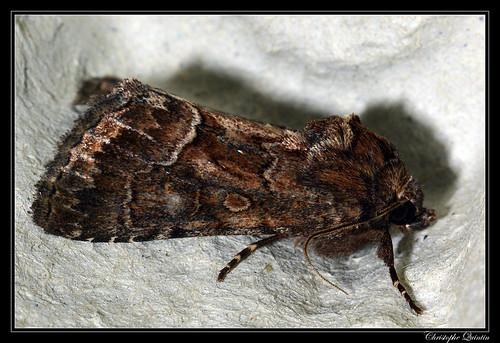 Noctuelle cythérée (Thalpophila matura)