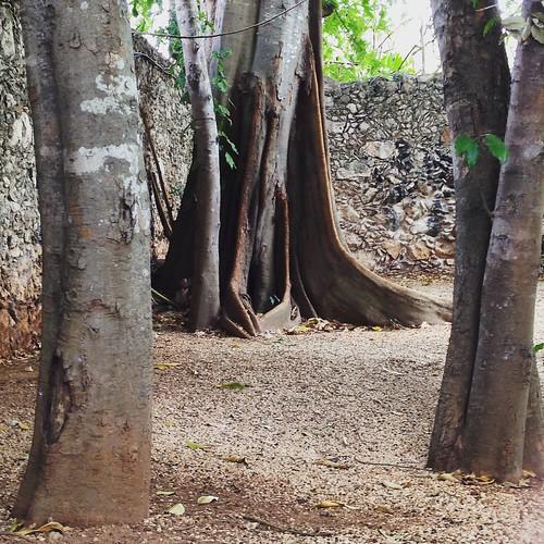 tree árboles yucatán troncos mérida raices