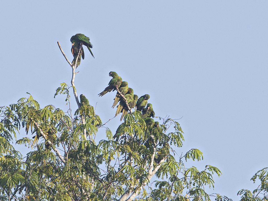 Cuban Parakeet  endemic to Cuba