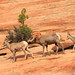 Zion Big Horn sheep during mating season by byronbca