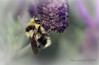 Bumblebee  and lavender in Los Gatos, California by Nancy Asquith