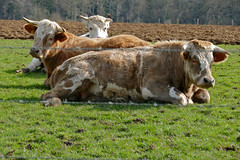 Cattle - Photo of Fleuré