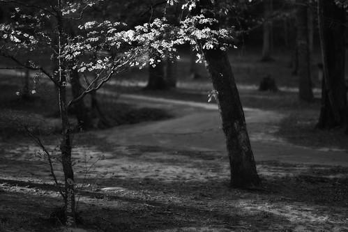 blackandwhite texas palestine springfever floweringdogwood dogwoodflowers d810 springtimeintexas dogwoodblooming nikoncapturenx2 nikongp1 daveydogwoodpark letaflowerbloomforyou daveypark nikkor70200mmf28gvr2