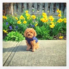 Daffodils.   #dog #puppy #Poodle #ToyPoodle #dogphoto #dogphotos #daffodils #dogs #puppies #poodles #toyPoodles #dogphotos #daffodil
