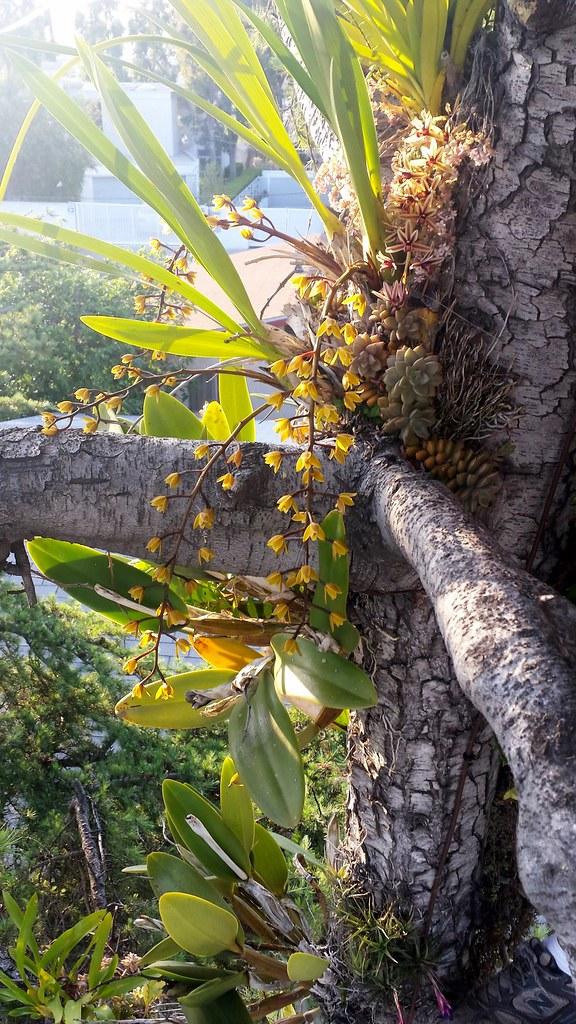 Cymbidium aloifolium and Cymbidium madidum