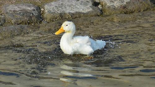 Junge Ente
