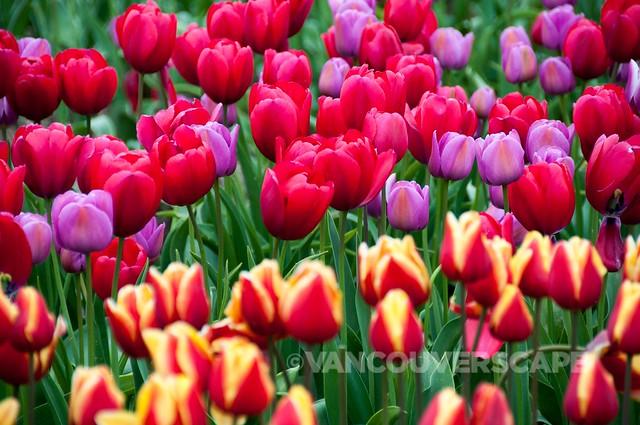 Abbotsford Tulip Festival-2