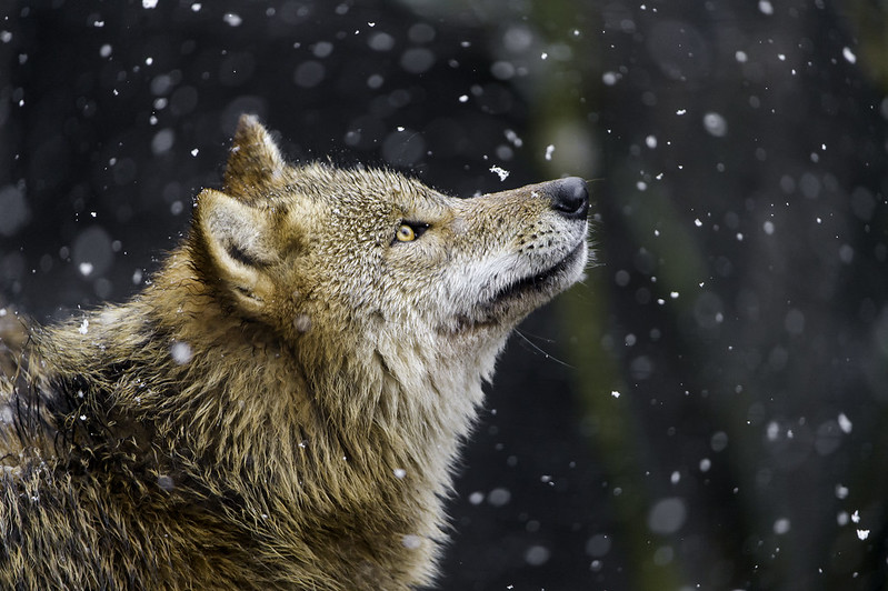Wolf watching the snow fall