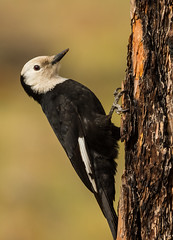 Woodpeckers and Sapsuckers