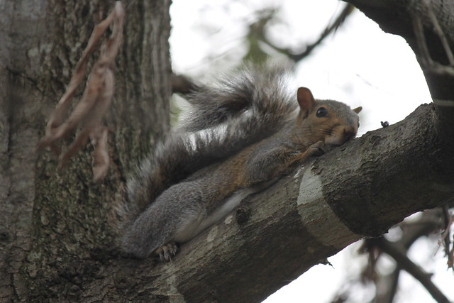 Squirrels Around Charleston, South Carolina (November 2014)