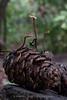 Auriscalpium vulgare (Ear-pick fungus)