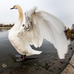 Swan Hyde Park