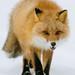 Mr Fox by dataichi