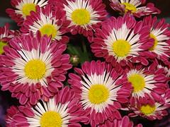 starr-070730-7925-Chrysanthemum_sp-flowers_magenta_white-Foodland_Pukalani-Maui