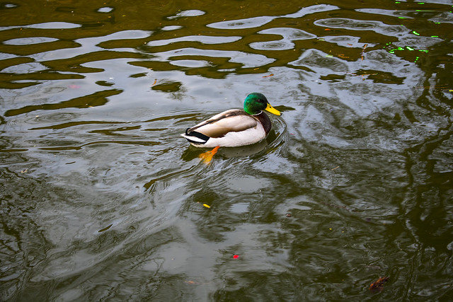 ducks-water