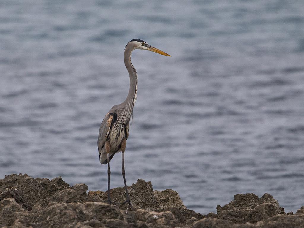 Great Blue Heron    Cuba