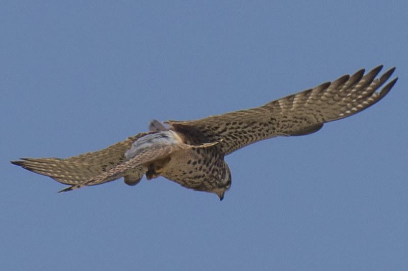 红隼 Falco tinnunculus@沙崙農場