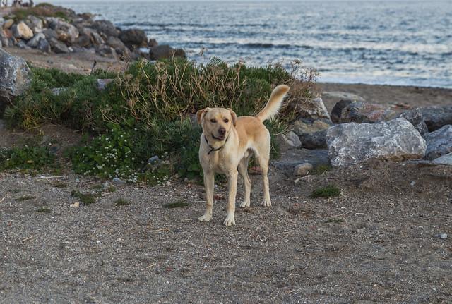 Labrador! :D