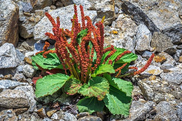 Wild Flowers In Karakoram, Kani Basa, Biafo Hispar Snow Lake Trek, Central Karakoram National Park, Gilgit-Baltistan, Pakistan