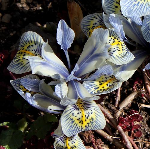 Iris winogradowii x histrioides 'Katharine Hodgkin'  25733437995_99ffb33dc3