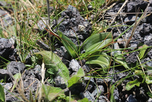 Orchid Rosettes