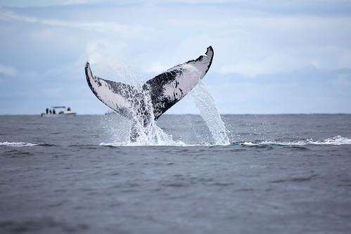 humpback fluke slapping